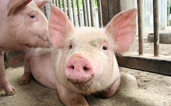 Новый свиноводческий комплекс появится в Нижегородской области.