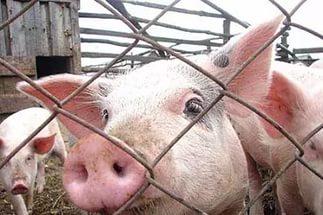 Африканская свиная чума вновь угрожает Нижегородской области