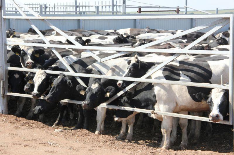 По заявлению председателя колхоза им. С.М. Кирова Павла Кондратьева, за пару лет увеличились надои коров.